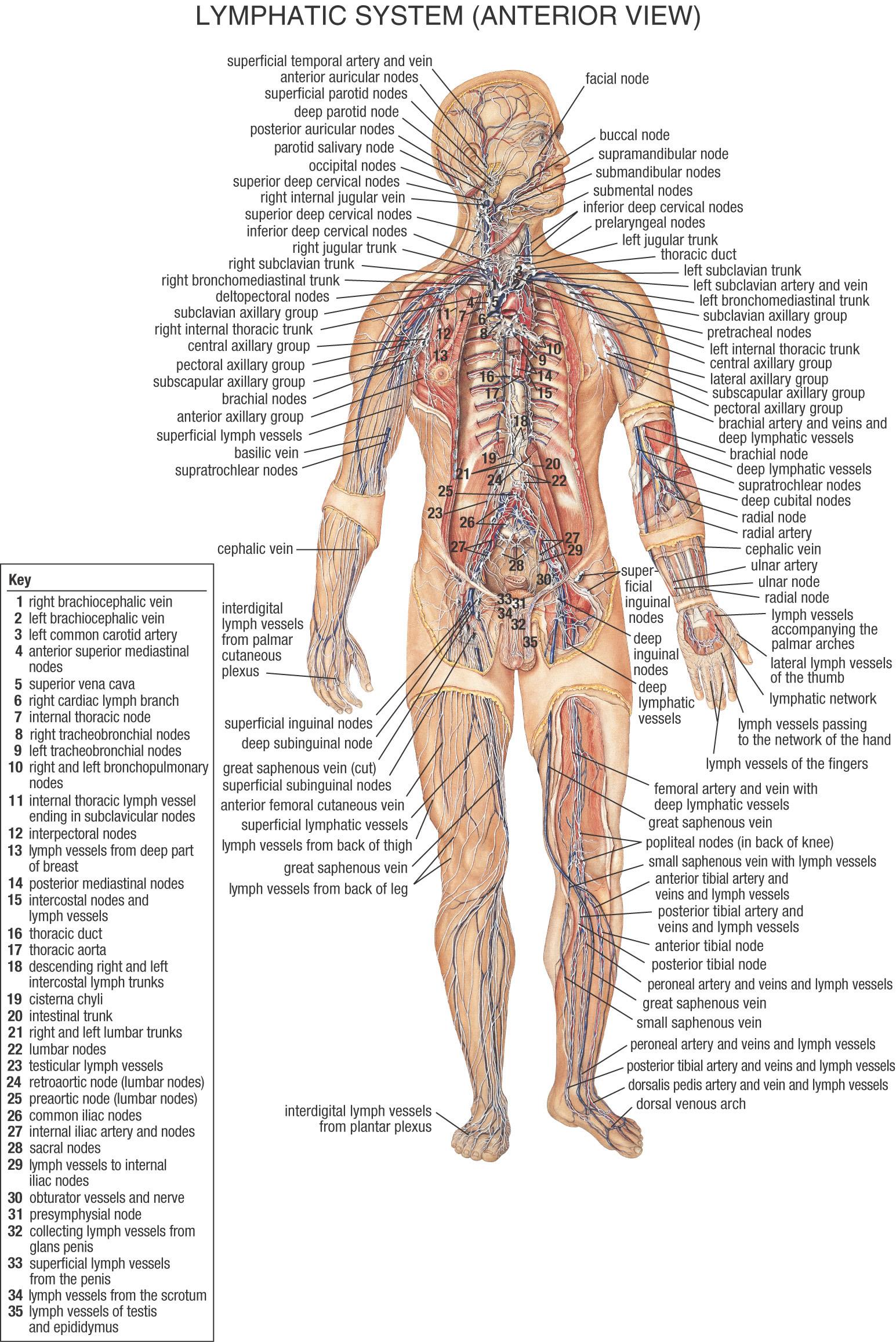 Lymph Nodes Knee Diagram Schematics Wiring Diagrams